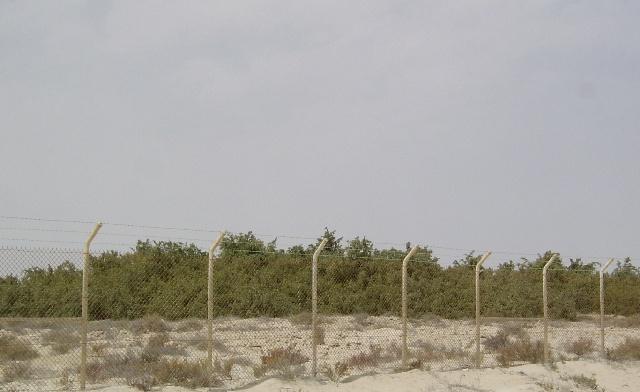 شجرة الاراك المسواك بالصور ar1.jpg