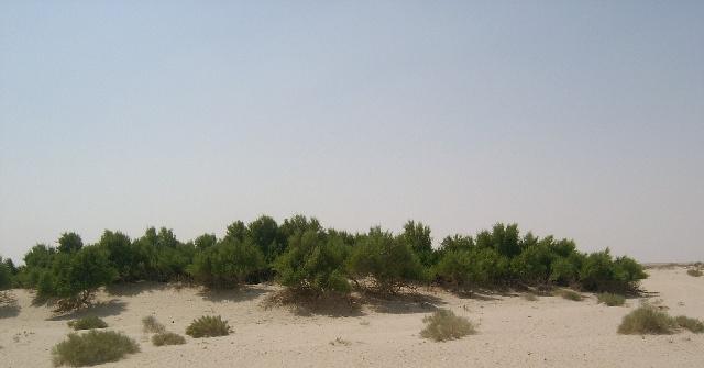 شجرة الاراك المسواك بالصور ar5.jpg